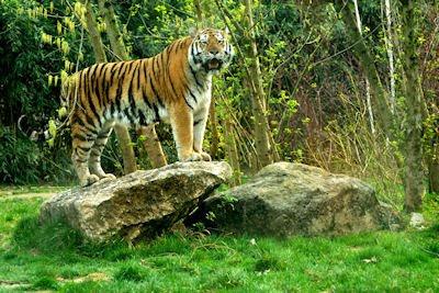 Tigre de bengala mirando a la cámara del fotógrafo - Grandes felinos de la selva - Animales feroces