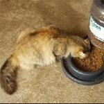 comportamiento alimenticio del gato