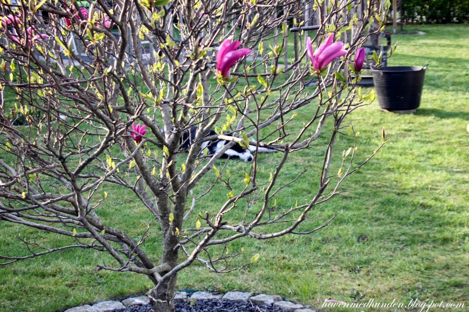 japansk kirsebærtræ opstammet