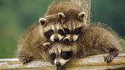 Animales que posan para la cámaraMapachesRacoon (animales posando para la camara racoon funny photos )