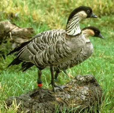 http://www.statesymbolsusa.org/Hawaii/bird_nene.html