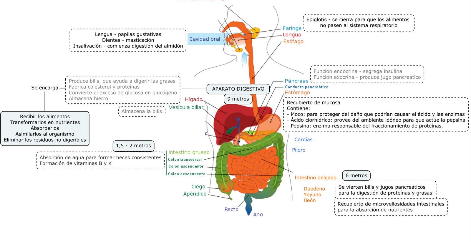 Famoso Sistema Digestivo Diagrama De Prueba Composición - Anatomía ...