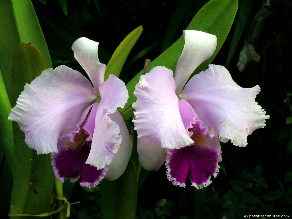 orquideas descripcion