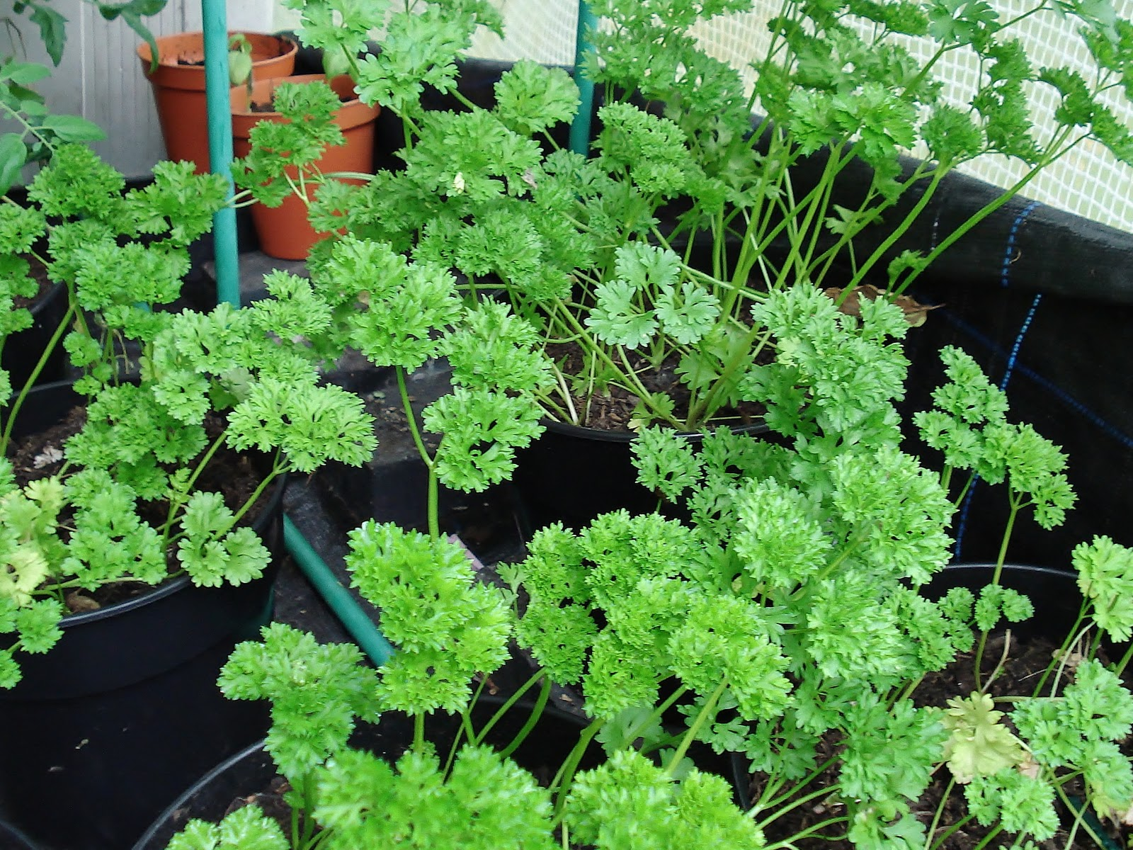 Seed to feed me growing herbs - Tips planting herbs lovage parsley dill ...