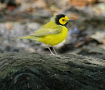 Hooded Warbler