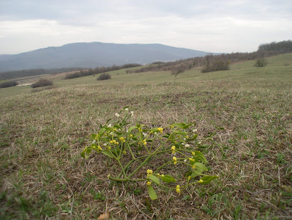 Flowering mistletoe in Salaj