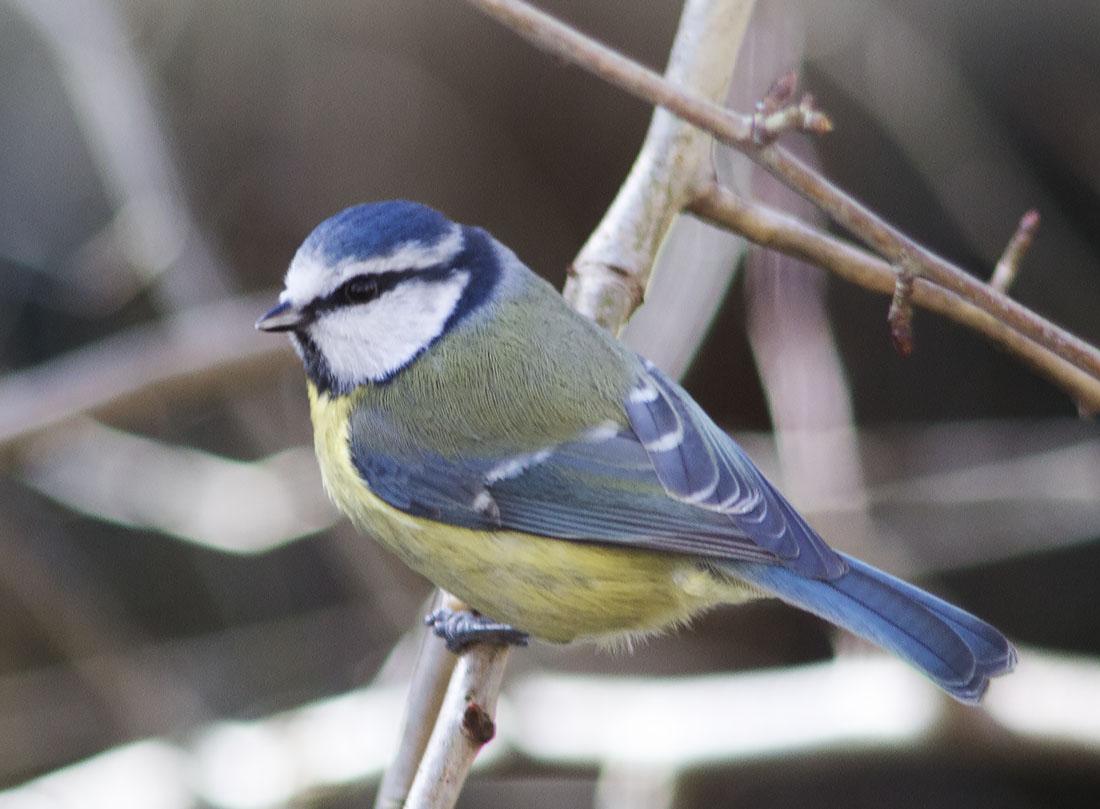 Blue Tit, Cyanistes caeruleus.  Hayes, 27 January 2014.