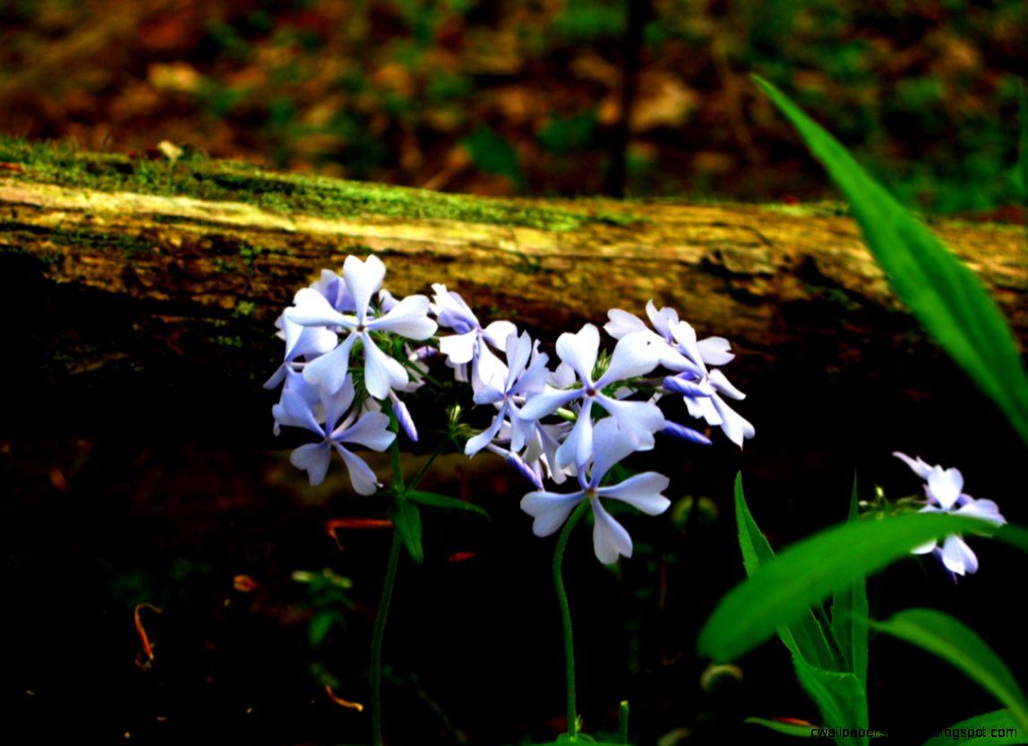FileForest flowers 04262008   West Virginia   ForestWander