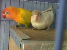 jual burung lovebird jenis lovebird yang di jual