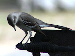 Photograph of Mockingbird by Darla Sue Dollman