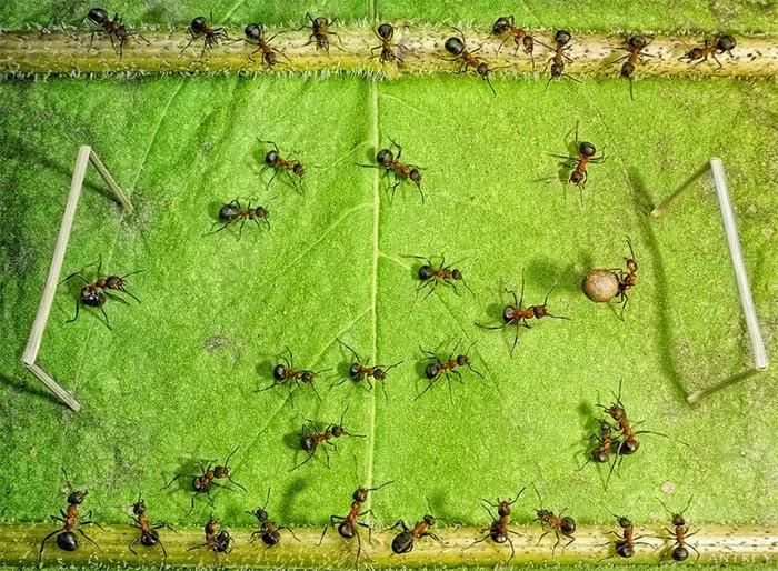 hormigas jugando futbol