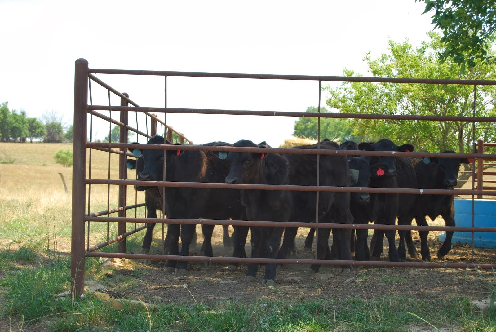 Cows on ranch in MO