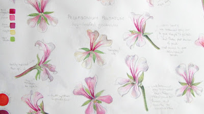 Sketchbook page of pelargonium flowers with colour notes by Shevaun Doherty