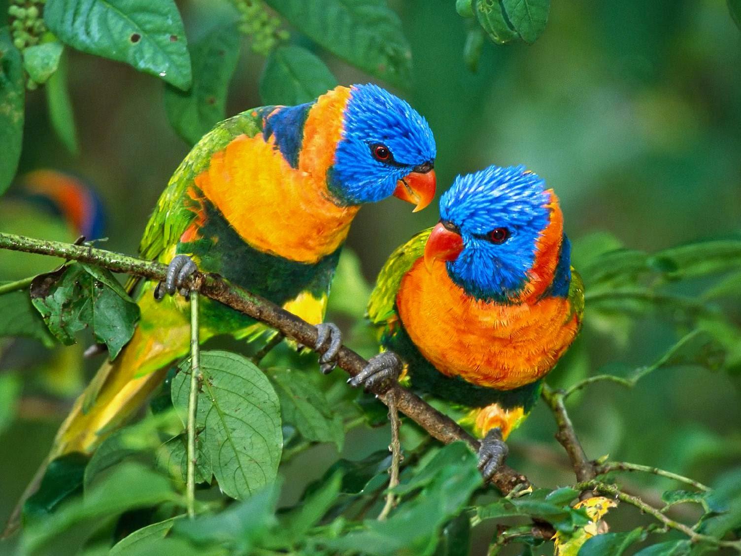 Burung Kicau Wallpaper HD