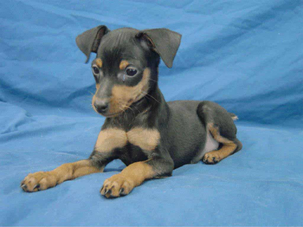 Miniature Pinscher Wallpapers