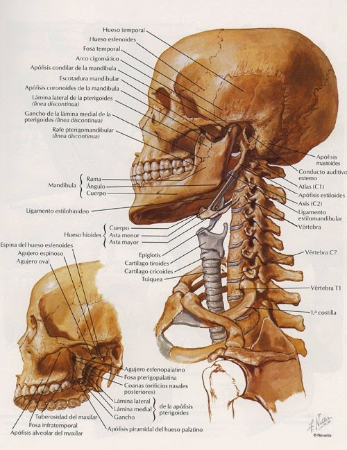 CABEZA Y CUELLO - Anatomía Humana