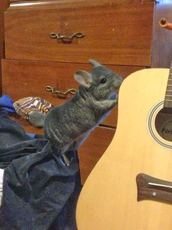Funny animals of the week - 3 January 2014 (40 pics), chinchilla and guitar