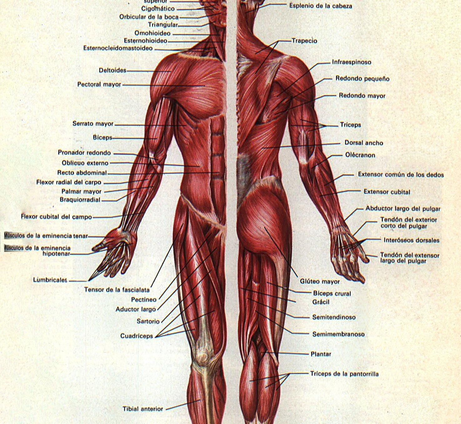 Vistoso Nombres Músculos De La Espalda Colección - Imágenes de ...