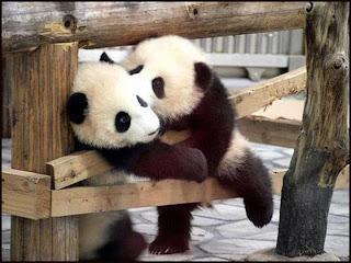 Osos panda besando a otro oso panda