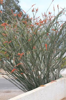 Binomen Art - Fouquieria splendens - the plant