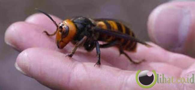 Lebah Macan