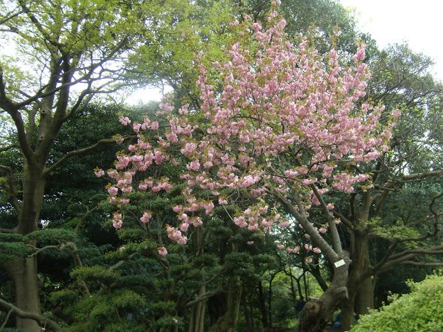 Pink Sakura in Ueno Park, Tokyo