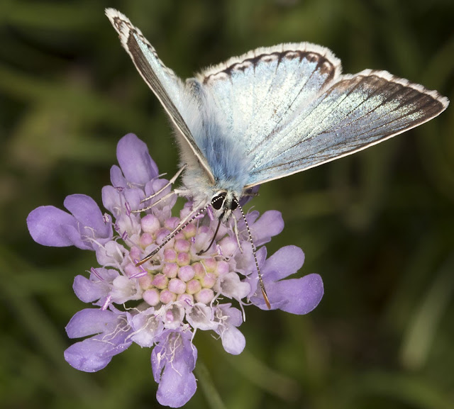 Chalkhill Blue, Lysandra coridon, on Small Scabious, Scabiosa columbaria.  3 August 2013.
