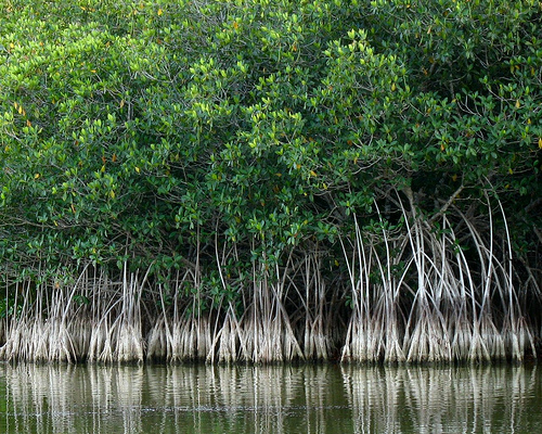 why should we protect the mangrove Why is it important to protect estuaries save cancel already exists would you like to merge this question into it such as salt marshes and mangrove forests.
