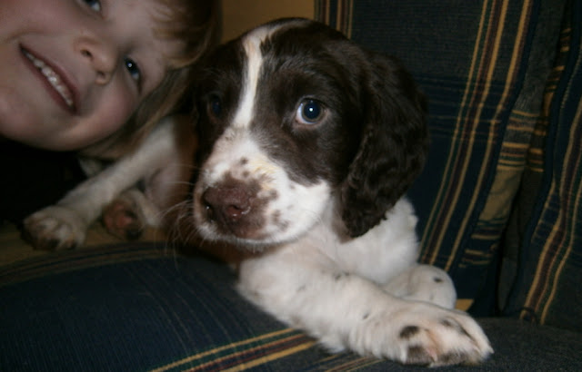 cute lie down sleeping springer spaniel puppy