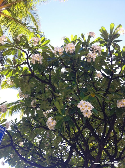 Blooming Plumeria tree