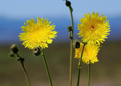 Perennial Sow-thistle Sonchus arvensis