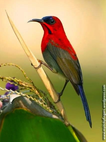 Foto Burung Kolibri Merah Jantan
