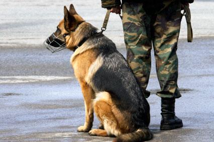 Big German Shepherds Military German Shepherd