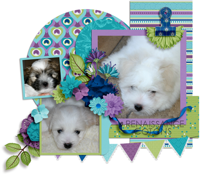 ♥Coton de Tulear puppies in CT♥