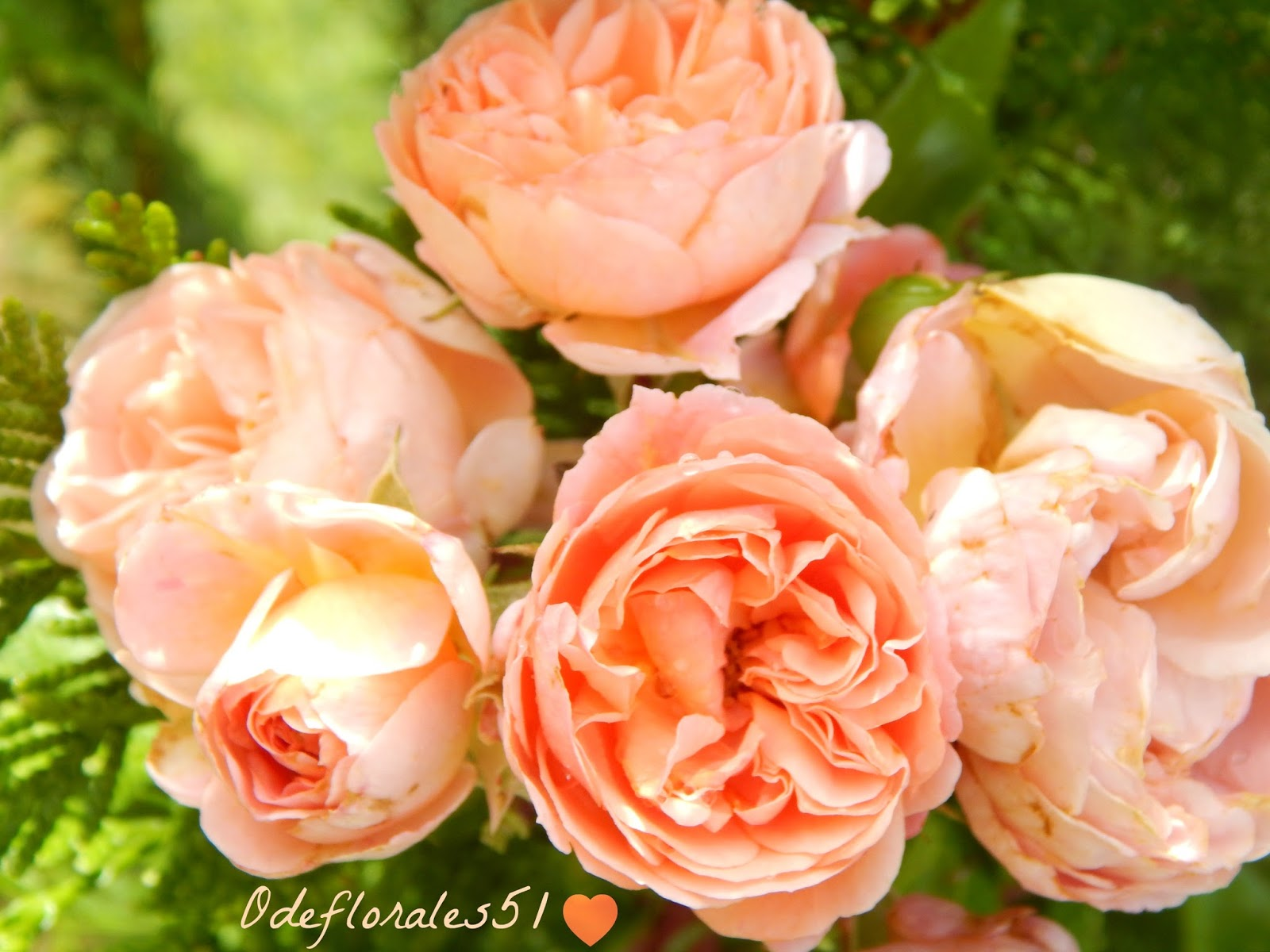 Beaut s florales rosier may flower - Taille rosier buisson ...