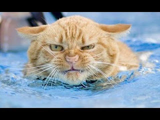 funny cat in water swim