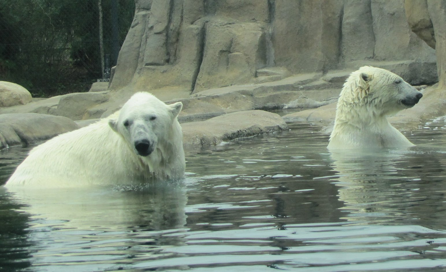 the natural habitat of polar bears and their main physical characteristics What are a polar bear's physical characteristics they are natural predators  the characteristics of a polar bears habitat include coldtemperatures.