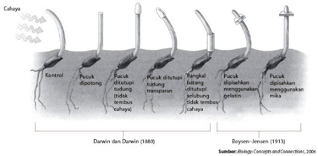 pertumbuhan koleoptil menuju cahaya