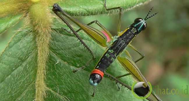 Serangga berkepala dua