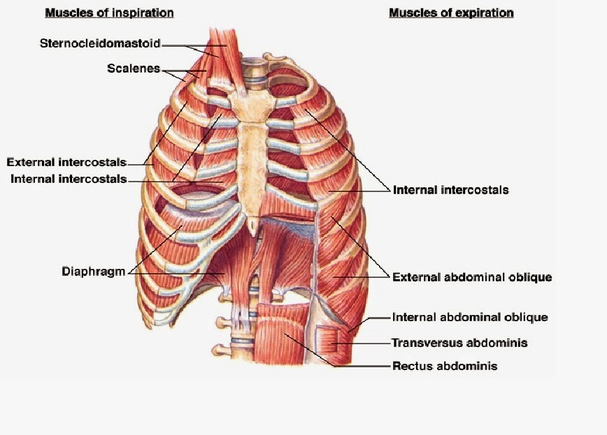 Think Somatics Change For Good Have You Worked Your Diaphragm Today