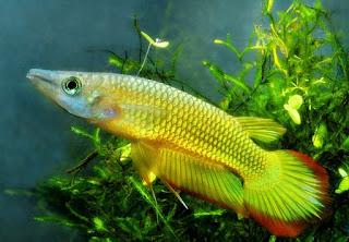 Golden Wonder Killifish