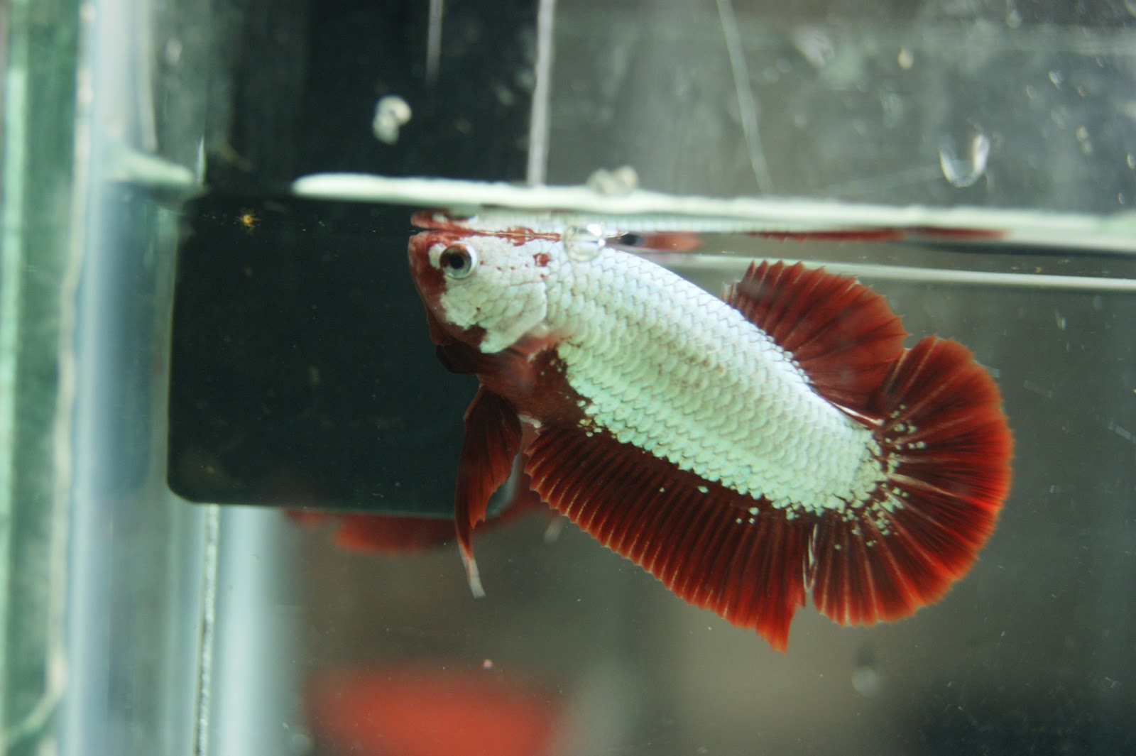 Live betta fish for sale online joy studio design for Dragon fish for sale