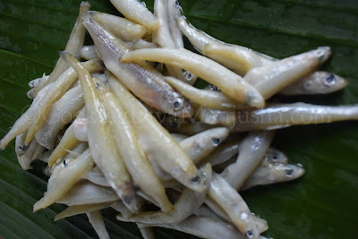 anchovy-fish