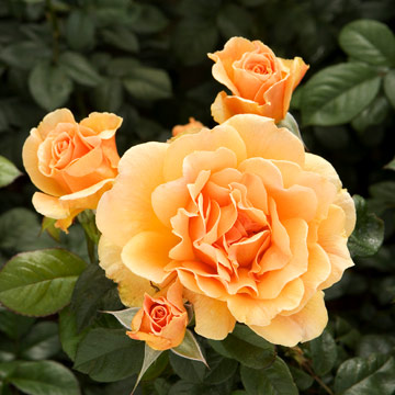 U0027Livinu0027 Easyu0027 Bears Big Apricot Blooms That Deepen To Orange In Full  Flower. The Fragrance Is Moderate And Fruity, And The Foliage Is Glossy.