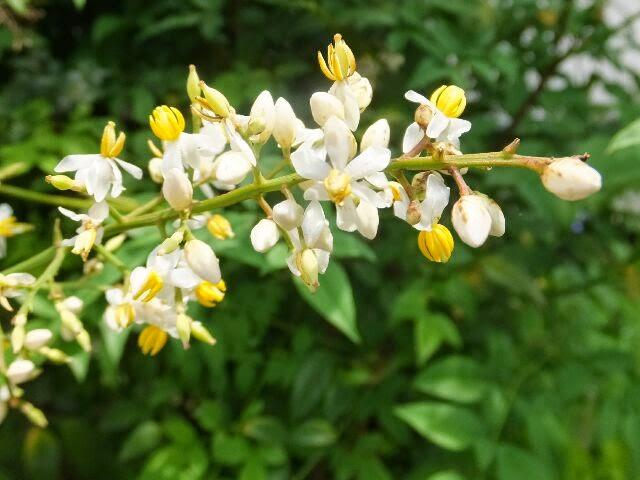 ナンテンの花。