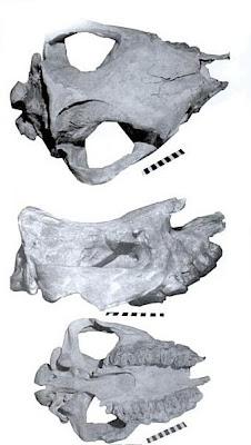Peraceras skull