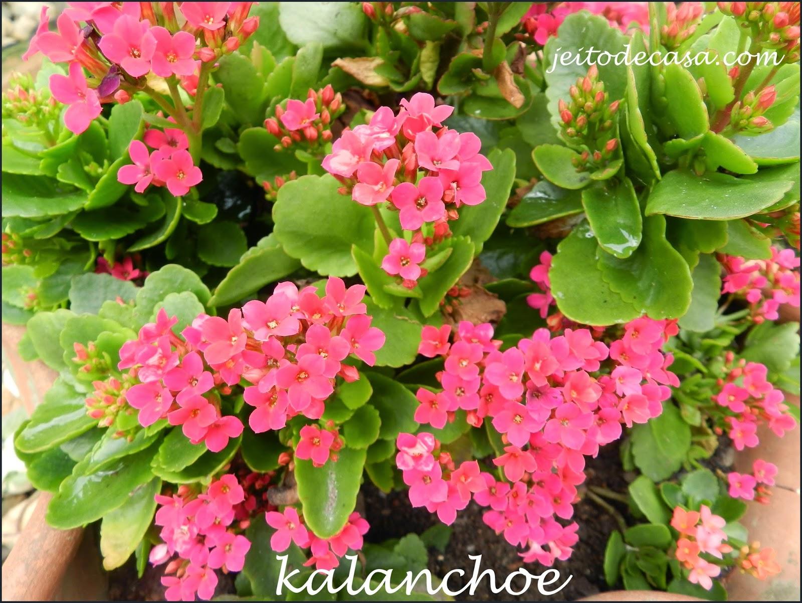Flor kalanchoe