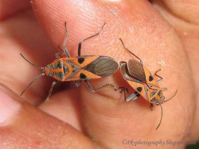 Small Milkweed Bug Mating