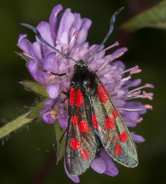 Six-spot Burnet, Zygaena filipendula stephensi.  Zygaenidae.  Shoreham, 3 August 2013.