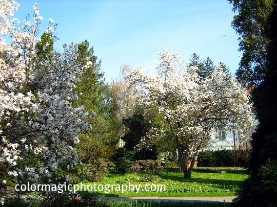White flowering magnolia trees